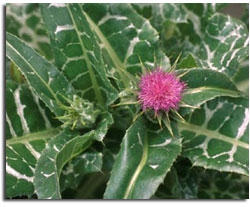 Thistle Standardized Extract